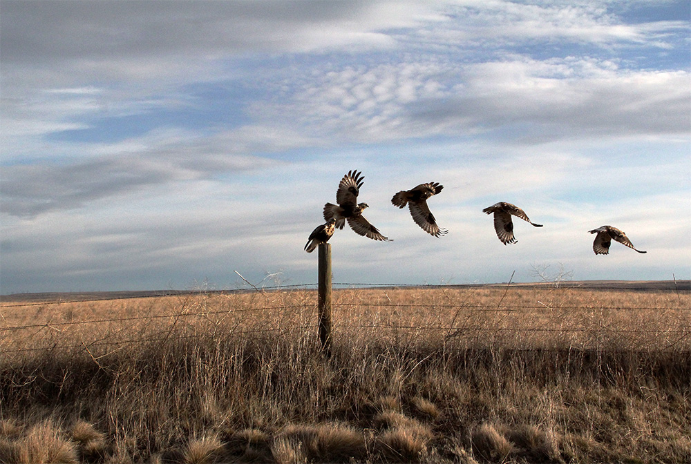 hawk_taking_flight_flat